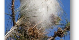 processionaria nido